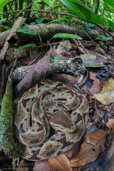 AH-Fer-de-lance-Bothrops-asper-Costa-Rica-6622.jpg